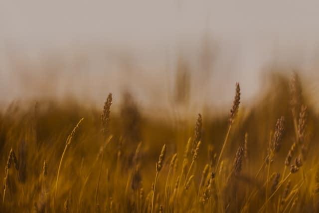 Field_grain